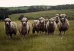 Wolle nachhaltigkeit merinos tierschutz